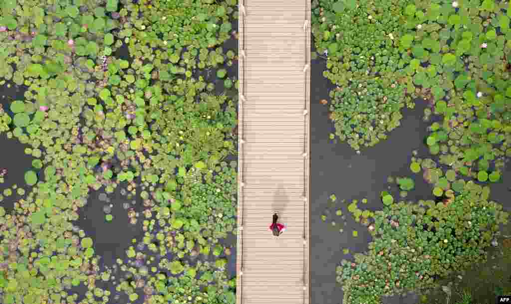 This image shows a visitor (C) looking at lotus plants from a walkway at the Sanwan scenic area next to the ancient canal in Yangzhou, in China's eastern Jiangsu Province.
