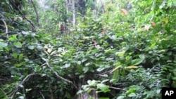 Gotovo sva vegetacija na vrhu srušenog drveta sastoji se od lijane Coccolobe perimensis, koja vrlo brzo stvara nove grane i širi se po šumi