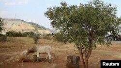 Un vache pâture près de la mine de Mogalakwena à Mokopane, en Afrique du Sud, le 18 mai 2016.