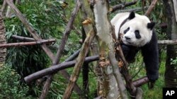 Большая панда. Сычуань, Китай
