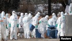 29일 일본 북부 아오모리 마을 농장에서 보호복을 입은 관계자들이 조류독감 양성 반응을 보인 오리를 살처분하고 있다.
