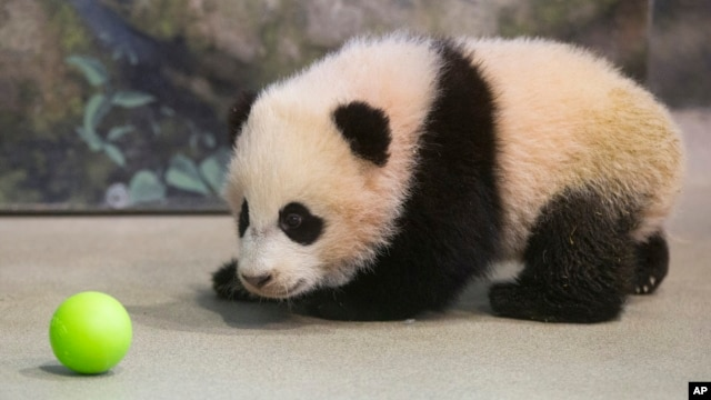 Bao Bao, the four-and-a-half-month-old giant panda cub, looks at a plastic ball as she trains with animal keepers inside her habitat at the Smithsonian's National Zoo in Washington, Jan. 7, 2014.