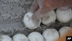 Sea turtle eggs are placed in special containers for relocation to the Atlantic coast.