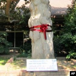 孙中山亲手种植的木兰树