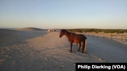 The wild horses of Assateague enjoying a sunrise on the beach.