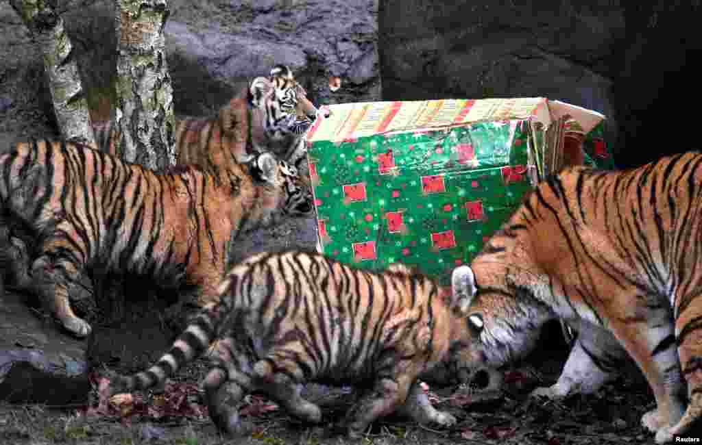ببر مادر به همراه فرزندانش در حال بازکردن هدیه کریسمس شان در باغ وحش «هاگن بکس» هامبورگ