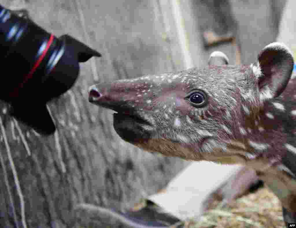 Seekor bayi tapir berusia 2 minggu memeriksa lensa seorang fotografer di kebun binatang Magdeburg, Jerman timur.