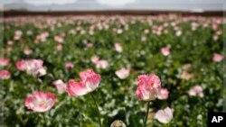 2011年四月18日在阿富汗坎大哈北部攝到的一片罌粟地