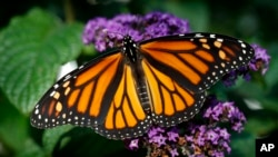 A butterfly rests on a flower, September 2018, in the U.S. state of Iowa. (AP Photo/Charlie Neibergall)