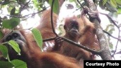 Dua individu orangutan Tapanuli (Pongo Tapanuliensis). (Courtesy: YEL-SOCP)