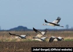 Ždralovi su jedna od ptičijih vrsta ugrožena nelegalnim paljenjem strnjike