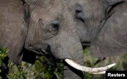 Các nhà bảo vệ môi trường cho biết 20.000 con voi Phi Châu đã bị giết hại vào năm 2013 – chủ yếu do săn bắt lậu để lấy ngà.
