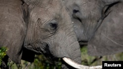 African elephants risk slaughter by poachers trying to obtain their tusks for the lucrative ivory trade.