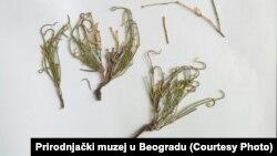 Herbarski primerak patuljaste efedre iz Generalnog herbarijuma Balkanskog poluostrva u Prirodnjačkom muzeju u Beogradu