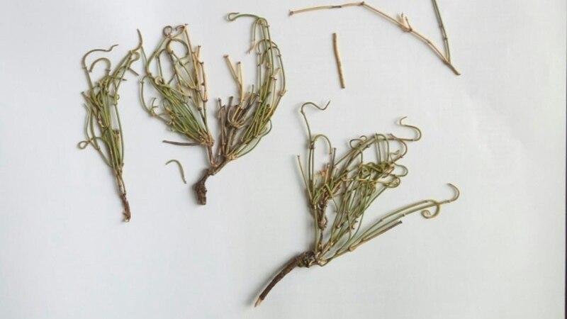 Otkrivena nova vrsta biljke u Srbiji