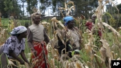 FILE - Women harvest maize in Kenya, Oct. 9, 2008. A Kenyan court on Monday rejected a plea to change how property is split in divorce cases. Women and their children are often evicted if the husband and wife split.
