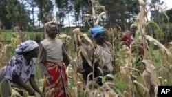 FILE - Kenyan women harvest maize in Kenya, Oct. 9, 2008.