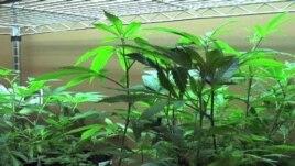 Marijuana mjekësore në Kaliforni