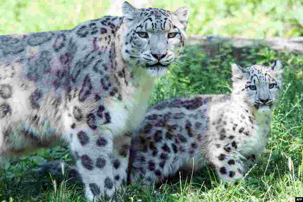 Snow leopard mother Siri stands next to her male cub Barid at the zoo in Cologne, western Germany.
