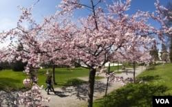 Sekitar lebih dari 3.000 pohon sakura di Washington ini merupakan hadiah dari pemerintah Jepang, yang diberikan pada tahun 1912 sebagai tanda persahabatan.
