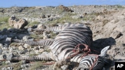 A dead zebra is seen at the Amboseli national park, where the zebra and wildebeest population has been decimated by drought, and the park's carnivores are now roaming far and wide in search of food, Feb 10, 2010