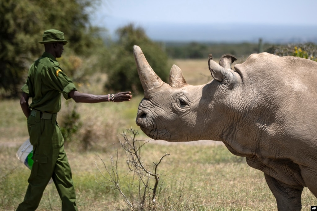 A ranger reaches out toward female northern white rhino Najin, 30, one of the last two northern white rhinos on the planet, in her enclosure at Ol Pejeta Conservancy, Kenya.