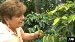 Bà Carmen Eneida Trujillo, một nông gia Colombia trồng cây cà phê lo ngại vì cây cà phê ra hoa rất ít