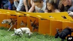 Chihuahua Race
