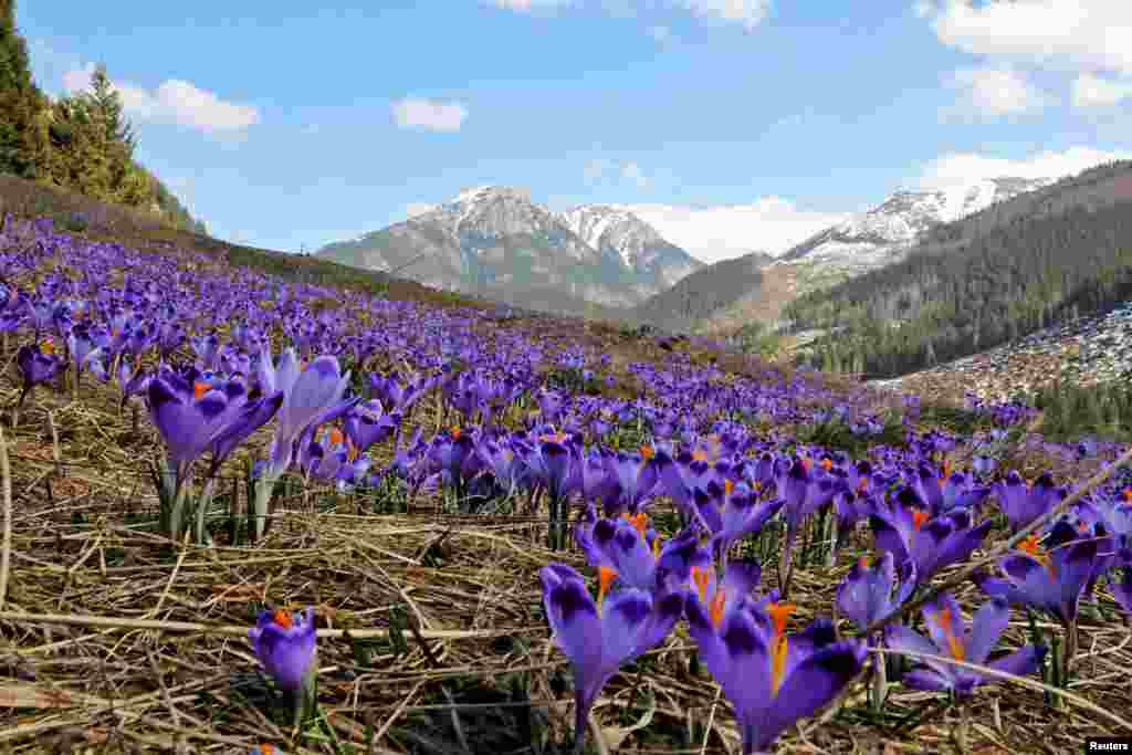 Blooming crocuses, a sign of the spring season, are pictured in the Chocholowska Valley in the Tatra Mountains near Zakopane, Poland.