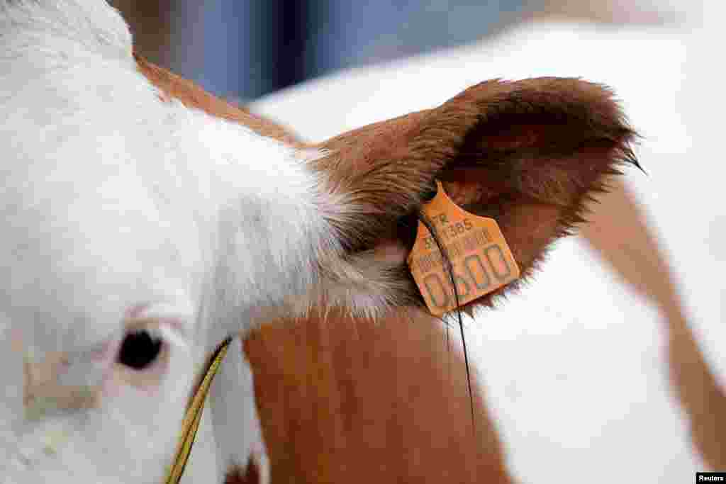 A cow is pictured on the eve of the opening of the International Agricultural Show in Paris, France. The Paris Farm Show runs from February 25 to March 5.