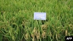 Gạo Jazzman được trồng tại Hoa Kỳ, bang Louisiana