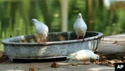 "A few of Vietnam's white ""peace"" pigeons rest in Hanoi's Botanic Gardens, Dec. 10, 2010."