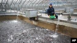 지난 4월 평양메기공장의 양식장에서 직원이 메기떼에 먹이를 주고 있다.