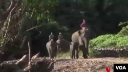 Populasi gajah terus berkurang di Myanmar (foto: ilustrasi).