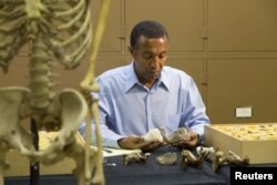 Paleoanthropologist Yohannes Haile-Selassie conducts comparative analysis of Australopithecus deyiremeda in his laboratory at Cleveland Museum of Natural History, April 29, 2015.