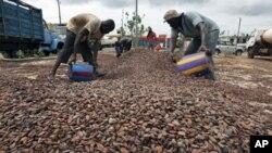 图为科特迪瓦的工人去年5月18日在转运可可豆的资料照