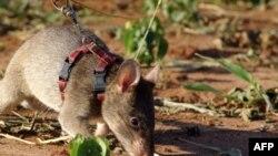 Крысы-саперы проходят подготовку в Колумбии