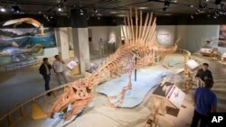 A 50-foot life-size model of a Spinosaurus dinosaur at the National Geographic Society in Washington