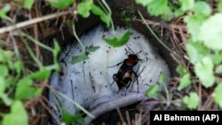 An American burying beetle walks over a dead rat in a hole at the Fernald Nature Preserve in Fernald, Ohio on May 13, 2013. (AP Photo/Al Behrman)