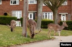 Deer eat plants in a housing area in Romford, Romford, Britain, April 3, 2020. (REUTERS/Peter Cziborr)