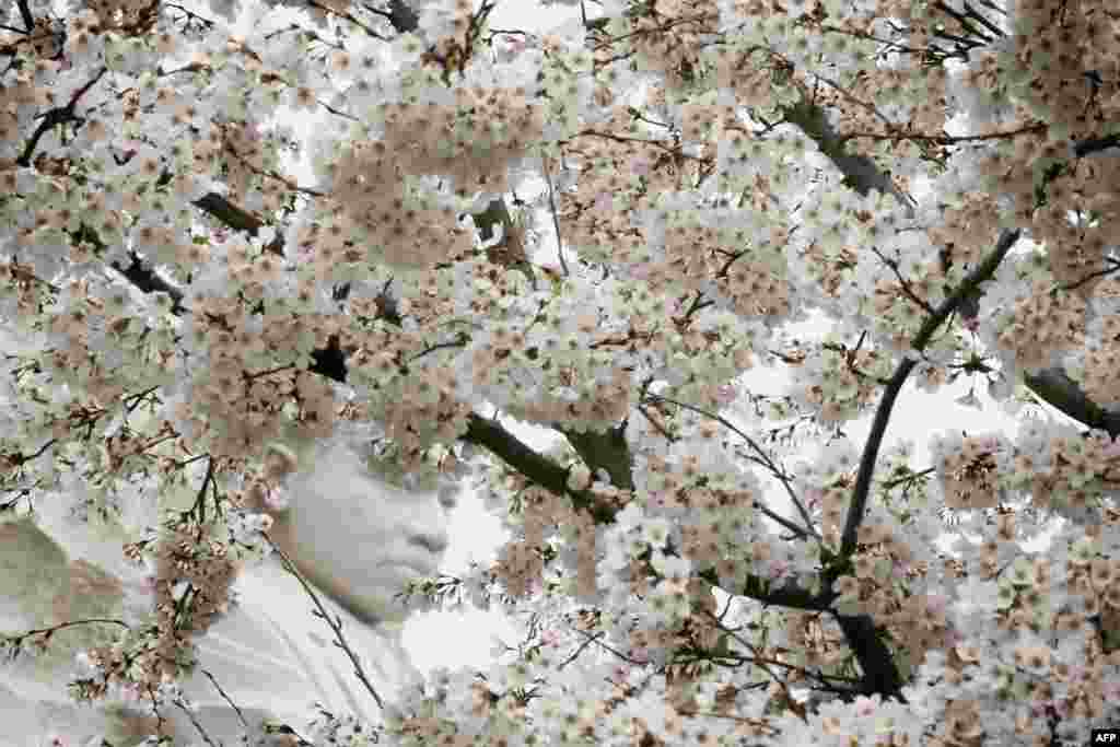 The statue of Martin Luther King, Jr. is seen through blooming cherry blossoms at the Tidal Basin in Washington, D.C., April 8, 2015.