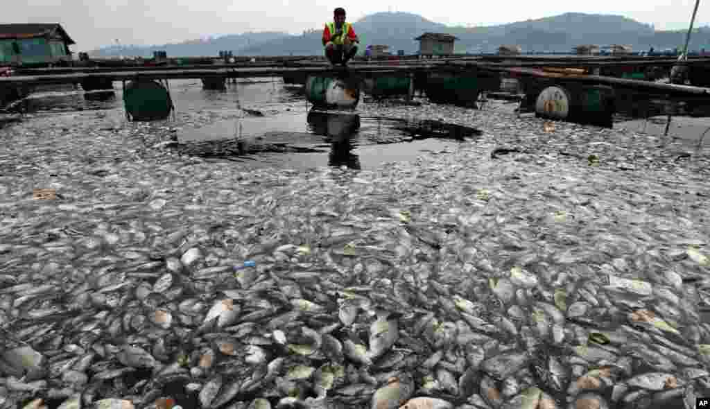 印尼漁民察看暴雨後沖到大壩的死魚。