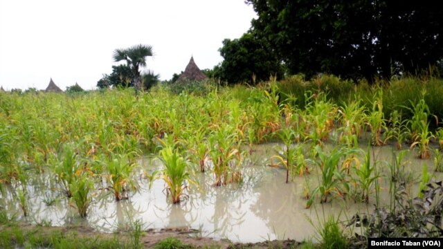 A flooded farm in Payinjiar County, in Unity State. Farmers have asked the government and NGOs for seed stock after last year's failed harvest, caused by flooding.
