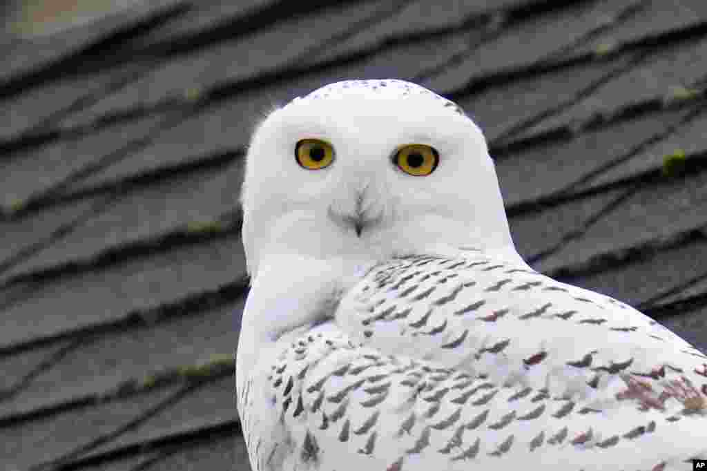 A snowy owl peers out from atop a rooftop in a residential neighborhood where it's been seen for over a week in Seattle, Washington.