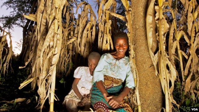 Using Evergreen Agriculture, Rhoda Mang'yana grows maize near Faidherbia trees to improve crop yields and soil fertility on her farm. (Credit: Jim Richardson)
