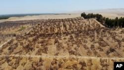 Kebun almond yang ditinggalkan karena kekeringan di Newman, California, 20 Juli 2021. (AP)