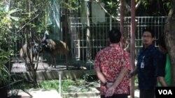 Burung kasuari koleksi walikota Solo diserahkan ke BKSDA Jawa Tengah. (VOA/Yudha Satriawan)