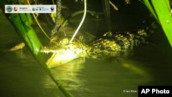 In this image released by Cambodian Environment Ministry and WWF, a Siamese crocodile swims in Srepok Wildlife Sanctuary of Cambodia's Eastern Plains, Mondulkiri province, Cambodia, on Sept. 13, 2021. (Cambodian Environment Ministry and WWF via AP)