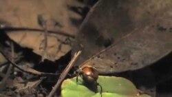 2012-01-13 美国专讯:(1)熱帶雨林 藤蔓植物喧賓奪主(2)巴拿馬史密森熱帶研究所