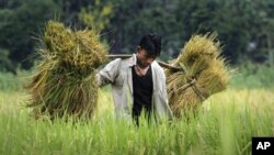 In this photo taken 28, May 2010, an Assamese boy carries crops on his shoulder in a paddy field in Mayong village, about 50 kilometers east of Gauhati, India.